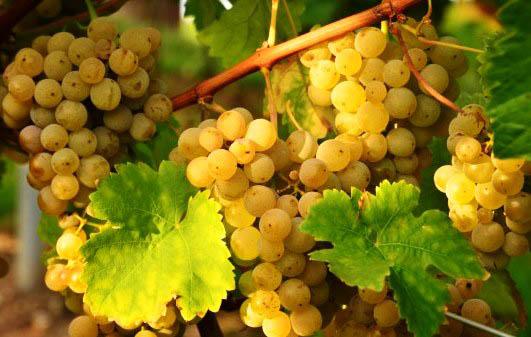 польза масла виноградных косточек для волос