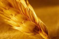 масло зародышей пшеницы от выпадения