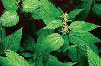 травы для волос крапива